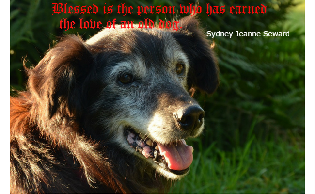 Beautiful old Shetland sheepdog - blessed is the person who has earned the love of an old dog.