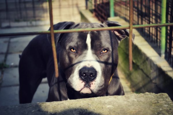 Unhappy pit bull in animal shelter.