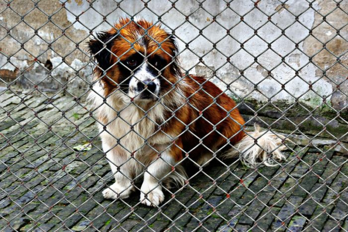 Very sad brown and white dog in a shelter.