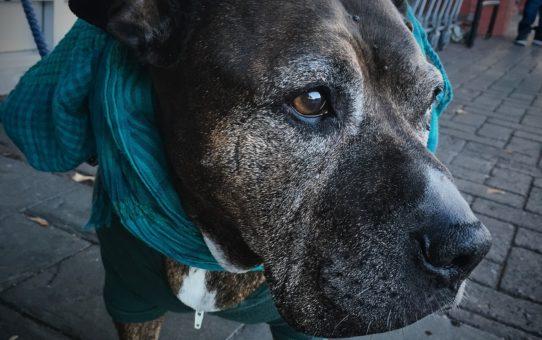 Senior pit bull wearing scarf.