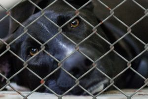 Sad black shelter dog lying down.
