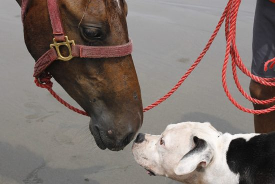 Black and white pit bull and horse nose to nose saying hello.