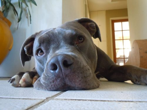 Thoughtful pit bull laying on the floor.