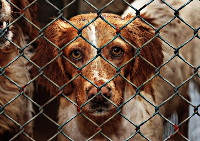 Beautiful red and white mixed breed dog in animal shelter.