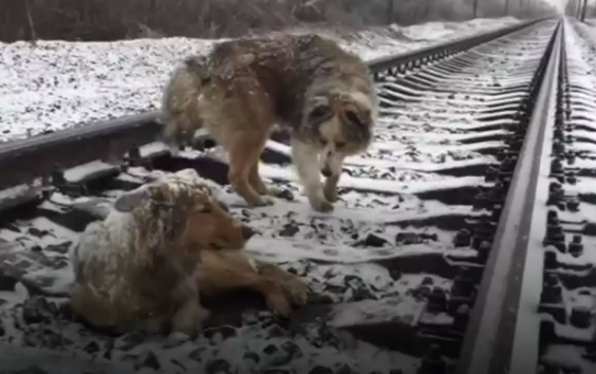 Two dogs stuck on cold train tracks.